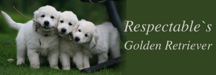 Respectable's Golden Retriever
